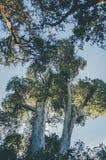 Árvores de Arrayan Foto de Stock Royalty Free