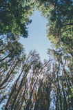 Árvores de Arrayan Imagens de Stock
