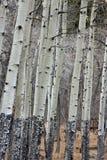 Árvores de Aspen Fotos de Stock Royalty Free