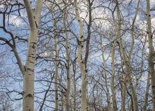 Árvores de Aspen com céu azul Fotografia de Stock