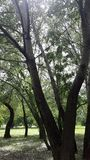 Árvores de Aspen, cottonwood Fotografia de Stock Royalty Free