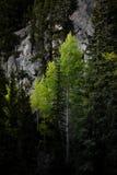 Árvores de Aspen na floresta Foto de Stock Royalty Free