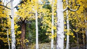 Árvores de Aspen na floresta fotografia de stock royalty free