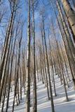 Árvores de Aspen na luz da noite Fotografia de Stock