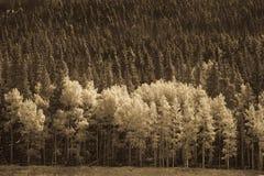 Árvores de Aspen nas montanhas Imagens de Stock