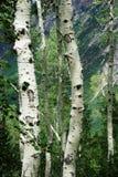 Árvores de Aspen nas montanhas de Wasatch Foto de Stock