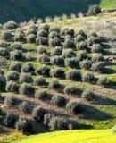 Árvores de azeitonas fotos de stock royalty free