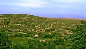 Árvores de azeitonas, situadas em Jae'n, Andalucia, Spain Fotos de Stock Royalty Free