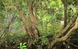 Árvores de Balete que são ainda visíveis no único meio de Filipinas que tem florestas virgens até aqui foto de stock royalty free