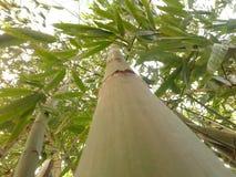 Árvores de bambu fotos de stock