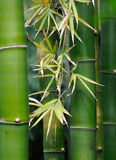 Árvores de bambu Fotografia de Stock