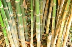 Árvores de bambu Foto de Stock Royalty Free