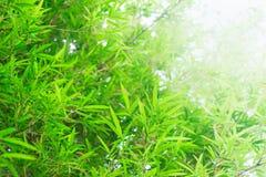 Árvores de bambu da floresta, fundo verde da luz solar da folha da natureza Imagens de Stock Royalty Free