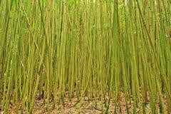 Árvores de bambu em Hana, Maui Imagens de Stock