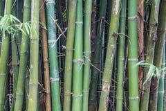 Árvores de bambu verdes para o fundo Foto de Stock