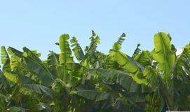 Árvores de banana foto de stock royalty free