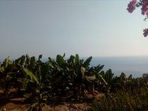 Árvores de banana Imagens de Stock