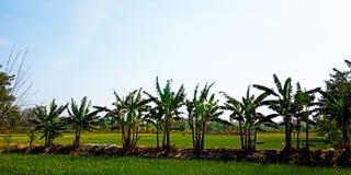 Árvores de banana na borda dos campos do arroz fotografia de stock
