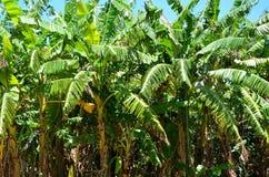 Árvores de banana no vale de Vinales, Cuba Imagem de Stock
