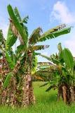 Árvores de banana tropicais na paisagem asiática Fotos de Stock Royalty Free