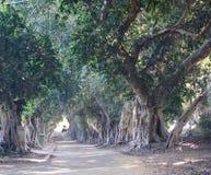 Árvores de Banyan Fotografia de Stock Royalty Free