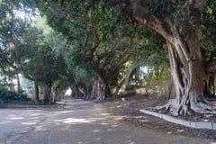 Árvores de Banyan imagens de stock