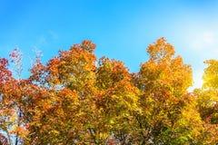 Árvores de bordo coloridas e céu azul na manhã Foto de Stock Royalty Free