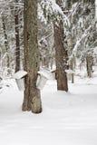 Árvores de bordo com baldes da seiva Imagens de Stock