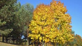 Árvores de bordo douradas no parque filme
