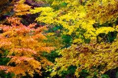 Árvores de bordo japonês múltiplas no outono em várias cores Fotografia de Stock