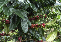 Árvores de café Imagem de Stock Royalty Free