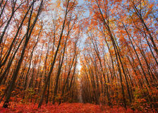 Árvores de carvalho com as últimas folhas amarelas Imagens de Stock