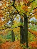 Árvores de carvalho da queda foto de stock