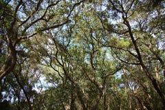 Árvores de carvalho de Florida imagens de stock