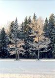 Árvores de carvalho de Hoarfrosted no dia muito frio Imagens de Stock Royalty Free