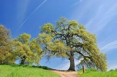 Árvores de carvalho na mola fotos de stock royalty free