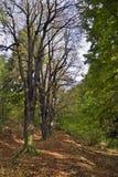 Árvores de castanha Fotografia de Stock