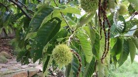 Árvores de castanha no verão filme