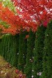Árvores de Cedar Hedge e de bordo fotografia de stock