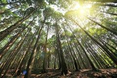 Árvores de cedro altas em lushan Fotografia de Stock Royalty Free