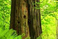 Árvores de cedro da floresta úmida noroeste pacífica e do vermelho ocidental Imagens de Stock Royalty Free