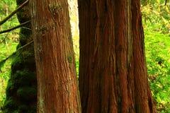 Árvores de cedro da floresta noroeste pacífica e do vermelho ocidental Fotos de Stock Royalty Free