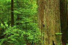 Árvores de cedro da floresta noroeste pacífica e do vermelho ocidental Imagem de Stock