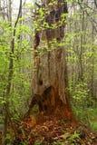 Árvores de cedro da floresta noroeste pacífica e do vermelho ocidental Fotos de Stock