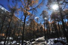 Árvores de cedro vermelho no luminoso Fotografia de Stock