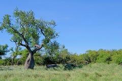 Árvores de ceiba, insignis do chorisia, e paisagem enormes bonitos de Gran Chaco, Paraguai fotos de stock royalty free