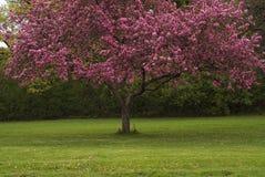 Árvores de cereja foto de stock