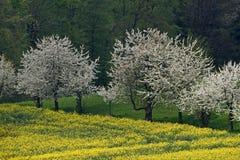 Árvores de cereja com campo da violação, Alemanha imagens de stock