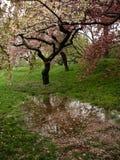 Árvores de cereja da flor após a chuva fotografia de stock royalty free