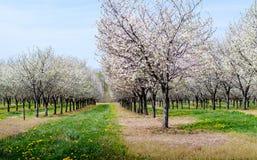 Árvores de cereja de florescência Fotografia de Stock Royalty Free